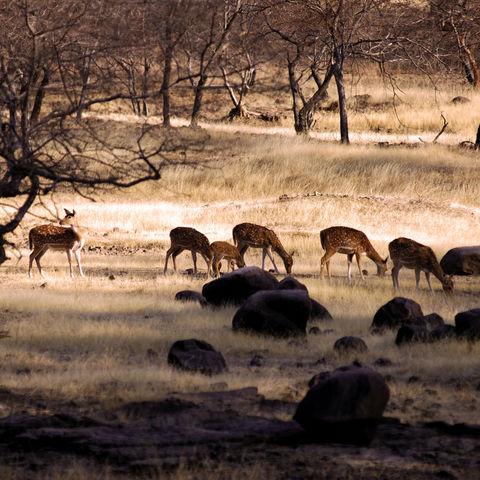 Rehe im Ranthambore-Nationalpark, Indien