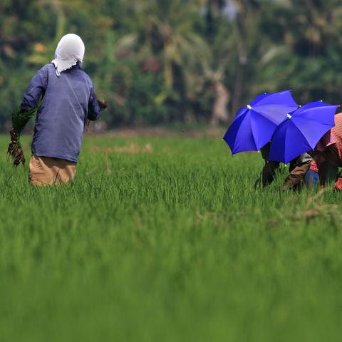 Arbeiter bei der Reisernte, Indien