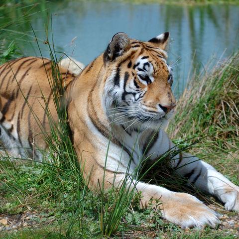 Majestätischer Tiger an einem See, Indien