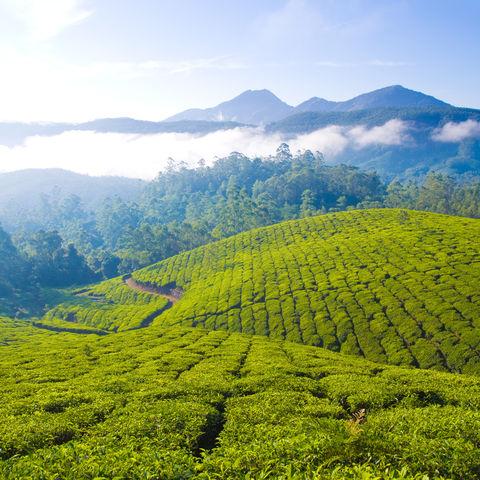Tee Plantagen in Kerala © Youssouf Cader, Dreamstime.com
