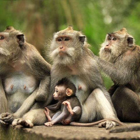 Affenfamilie, Indonesien