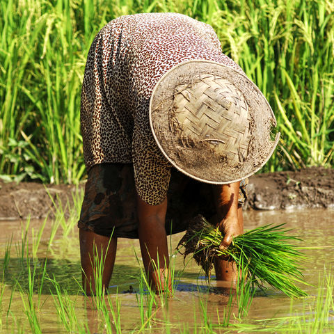 Arbeiterin im Reisfeld, Indonesien