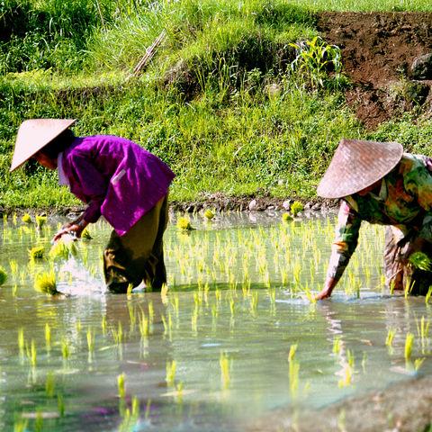 Arbeiterinnen im Reisfeld, Indonesien