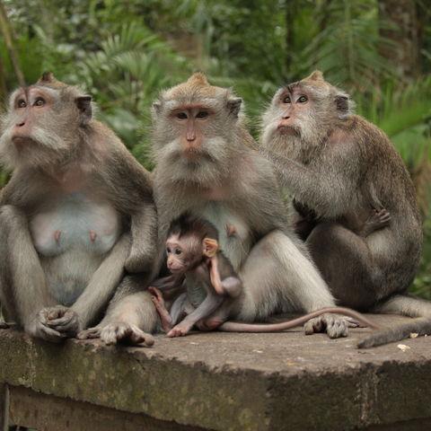 Affenfamilie auf Bali, Indonesien