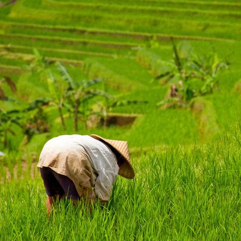 Arbeiter auf dem Reisfeld, Indonesien