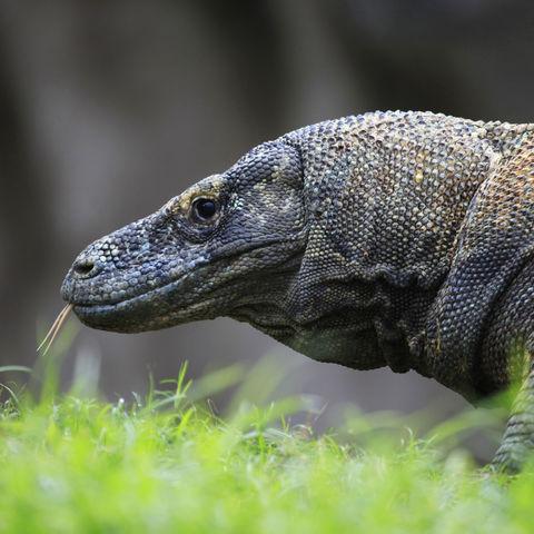 Gespaltene Zunge eines Komodowarans, Indonesien