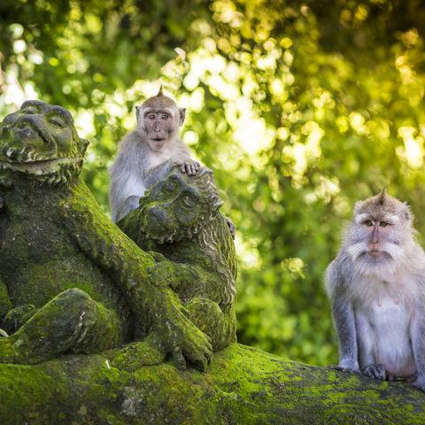 Affen im beliebten Monkey Forest, Ubud, Bali, Indonesien