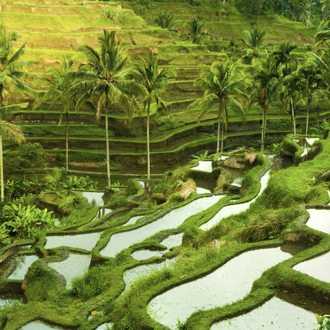 Reisfeld in der morgendlichen Sonne, Indonesien