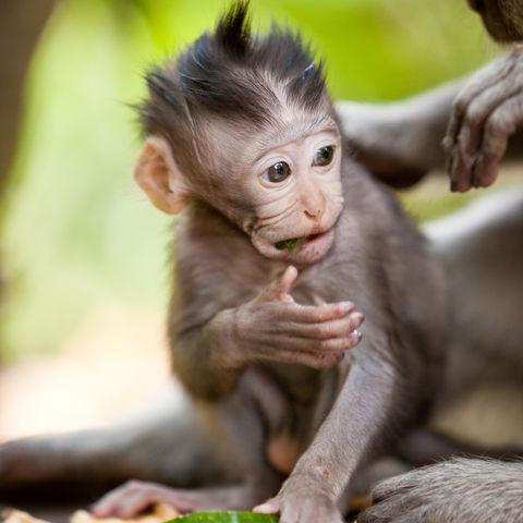 Affenbaby in der Nähe von Ubud, Indonesien