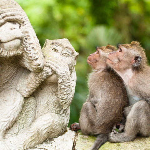 Zwei Makaken Affen in der Monkey Forest Tempelanlage, Indonesien