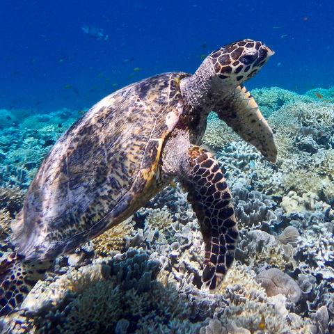 Und plötzlich taucht neben dir eine Meeresschildkröte auf: Gili Meno, Indonesien