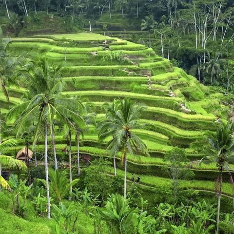 Grüne Reisterassen, Indonesien