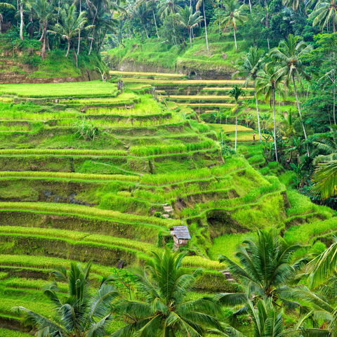 Idyllische Reisterrassen, Indonesien