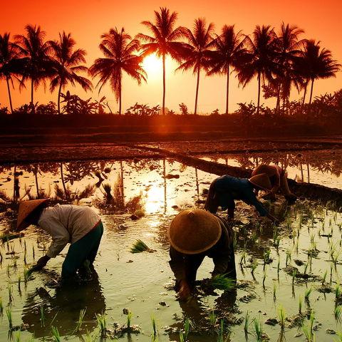 Sonnenuntergang über einem Reisfeld, Indonesien