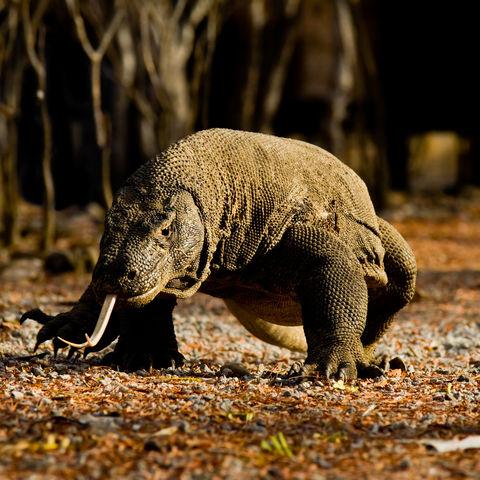 Komodowaran auf Komodo, Indonesien