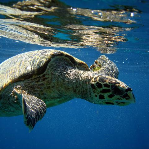 Schildkröte in den Gewässern um Lombok, Indonesien