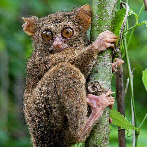 Sulawesi-Koboldmaki, Sulawesi, Indonesien
