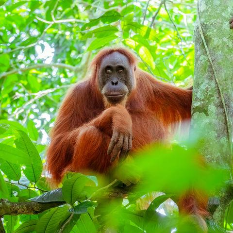Weiblicher Orang-Utan auf einem Baum, Indonesien