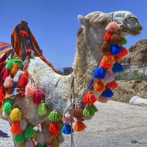 Geschmücktes Kamel in Shiraz, Iran
