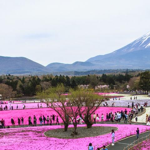 Moosflammenblumenfelder vor dem Fujisan, Japan