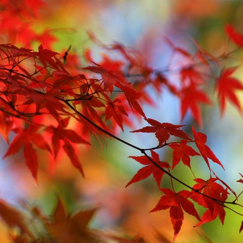 Japanisches Herbstlaub, Japan