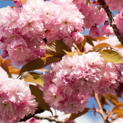 Nahaufnahme von japanischen Kirschblüten, Japan