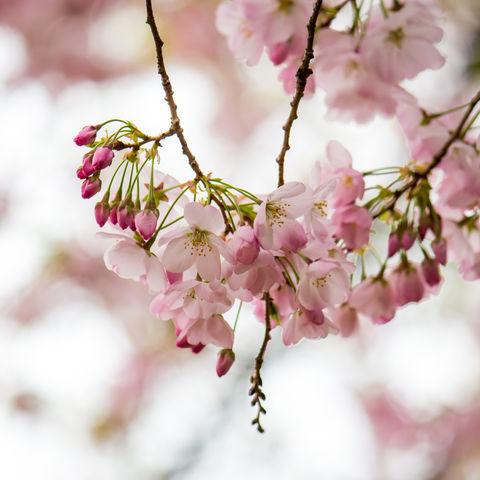 Kirschblüten Nahaufnahme, Japan