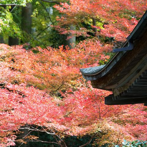 Herbstlaub in Kyoto, Japan