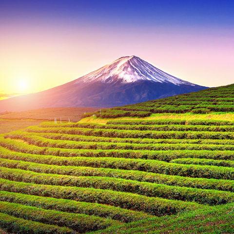 Teefelder in der Abendsonne mit dem Mount Fuji im Hintergrund, Japan