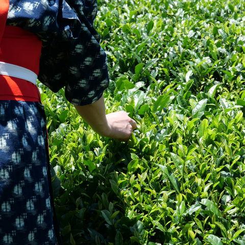 Teepflückerin im Zentrum des japanischen Teeanbaus: Shizuoka, Japan