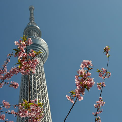 Kirschblüte (Sakura) vor dem Sky Tree in Tokio, Japan