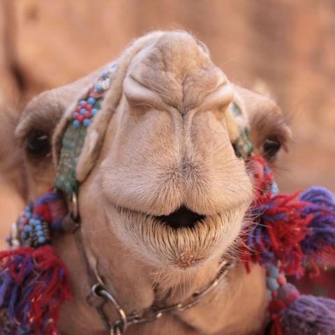 Portrait eines Kamels, Jordanien