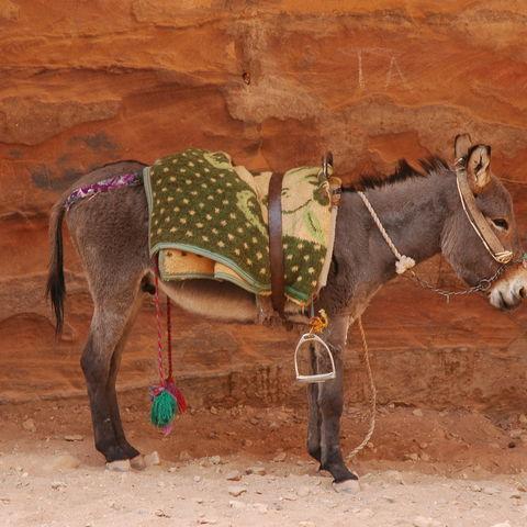 Ein Packesel in der Nähe der Felsstadt Petra, Jordanien