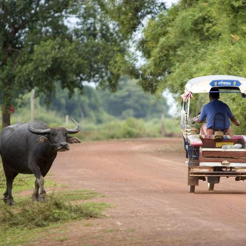 Wasserbüffel auf dem Land, Kambodscha