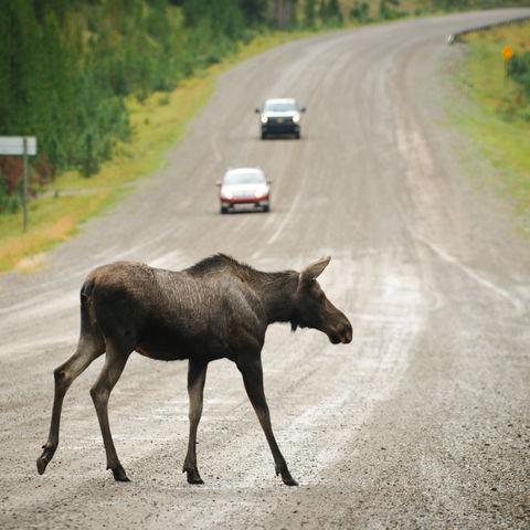 Elchkuh überquert Straße, Kanada