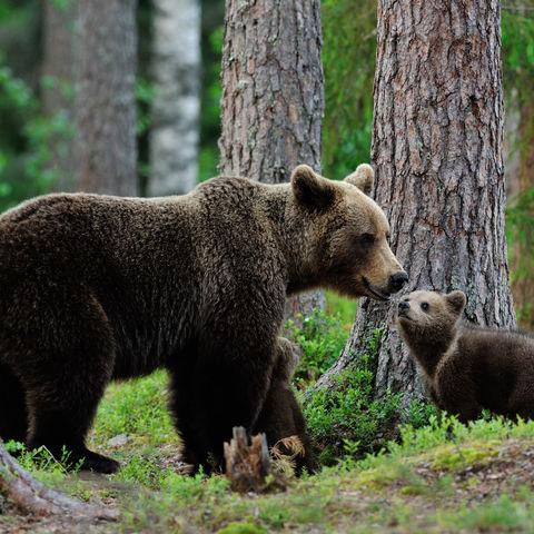 Herzerwärmend: Bärenmutter mit ihrem Jungen im Wald, Kanada