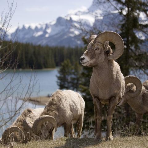 Dickhornschafe im Banff-Nationalpark, Kanada