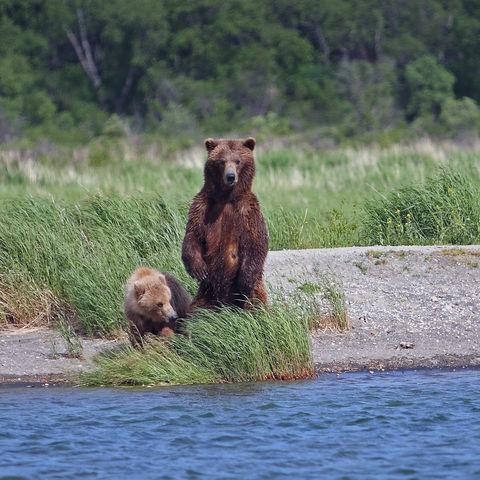 Braunbärenfamilie am Ufer, Kanada