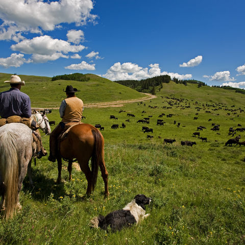 Cowboys bei Ihrer großen Rinderherde, Kanada