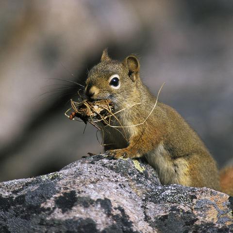 Eichhörnchen auf Futtersuche, Kanada