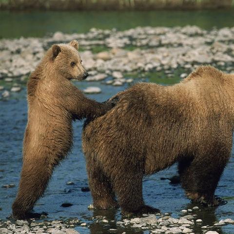Grizzybären am Flussufer, Kanada