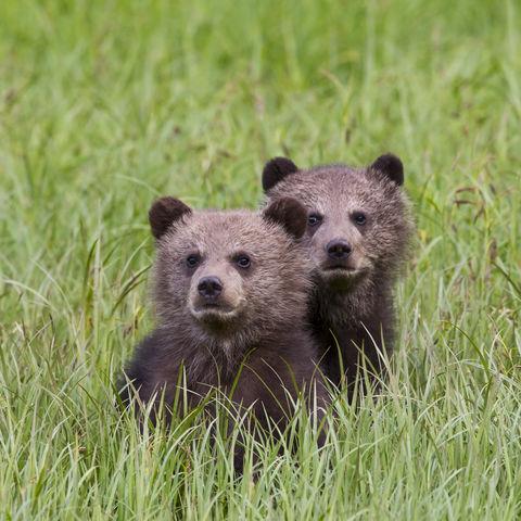 Zwei junge Grizzlybären im Gras © Thinkstock, iStockphoto