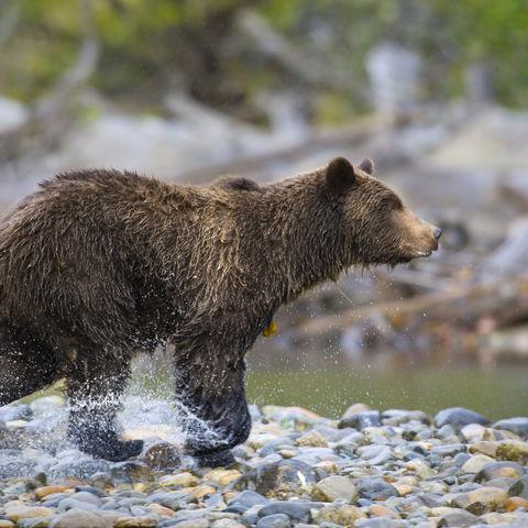 Laufender Grizzlybär, Kanada