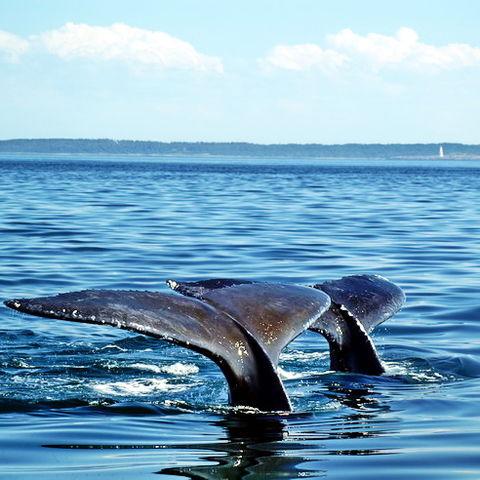 Wale vor der Küste in Ostkanada, Kanada