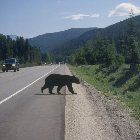 Schwarzbär in der Nähe der Mt. Robson, Kanada