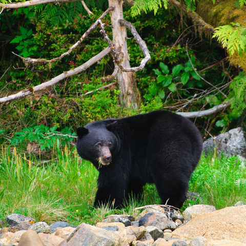 Schwarzbär am Flussufer, Kanada