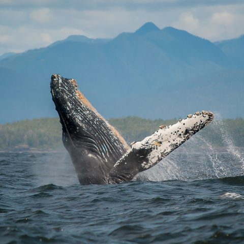 Buckelwal vor Vancouver Island, Kanada