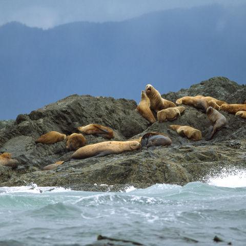Seelöwen auf Felsen auf Vancouver Island, Kanada