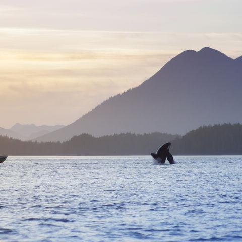 Orca vor Bergkulisse bei Tofino, Kanada