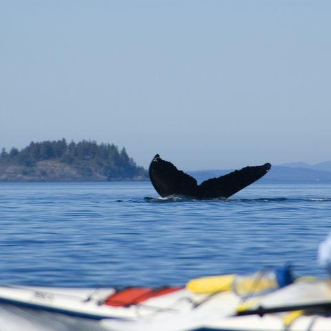 Walflosse vor Vancouver-Island, Kanada